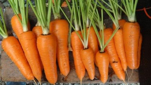 Carrot Heartland 1